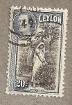 Stamps Asia - Sri Lanka -  Recoleccion Té