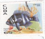Sellos de America - Cuba -  Hypoplectrus Indigo