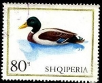 Stamps Europe - Albania -  Aves domésticas. Pato de Barbarie.