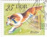 Stamps Germany -  Perros de raza - COLLIE