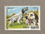 Stamps Romania -  Exposición mundial canina,Brno, Setter