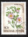 Stamps Hungary -  ROSA GALICA