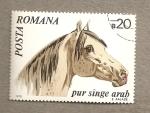 Sellos de Europa - Rumania -  Caballo raza árabe pura