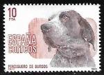Sellos de Europa - España -  Perros de raza española  - Perdiguero de Burgos