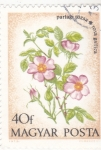 Stamps Hungary -  FLORES- rosa gallica