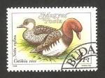de Europa - Hungría -  3175 - Pato netta rufina
