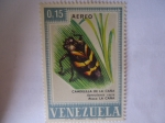 de America - Venezuela -  Candelilla de la Caña - Aeneolamia varia - Ataca: La Caña.