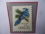de America - Estados Unidos -  Blue Jay (Cyanaocitta cristata) - Arredajo Azul.