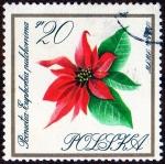 Stamps Poland -  POINSETIA